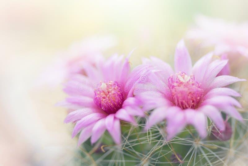Flor cor-de-rosa bonita do cacto que floresce no jardim imagens de stock royalty free