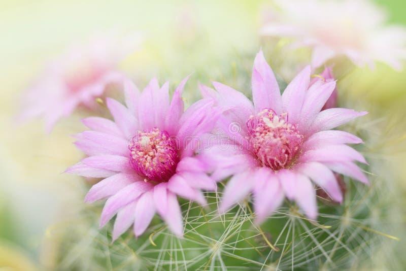 Flor cor-de-rosa bonita do cacto que floresce no jardim fotos de stock