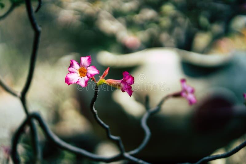 Flor cor-de-rosa bonita do close-up, fundo borrado imagem de stock