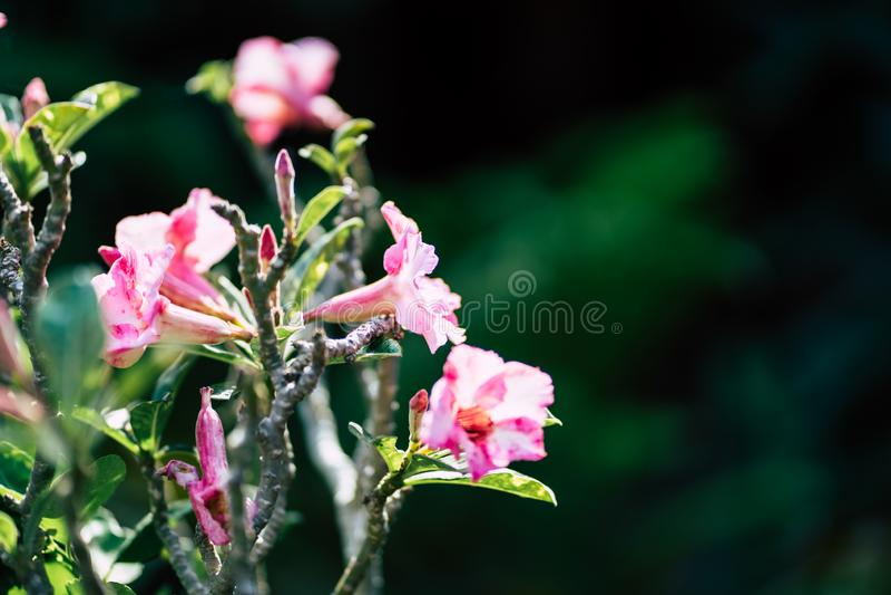 Flor cor-de-rosa bonita do close-up, fundo borrado fotografia de stock