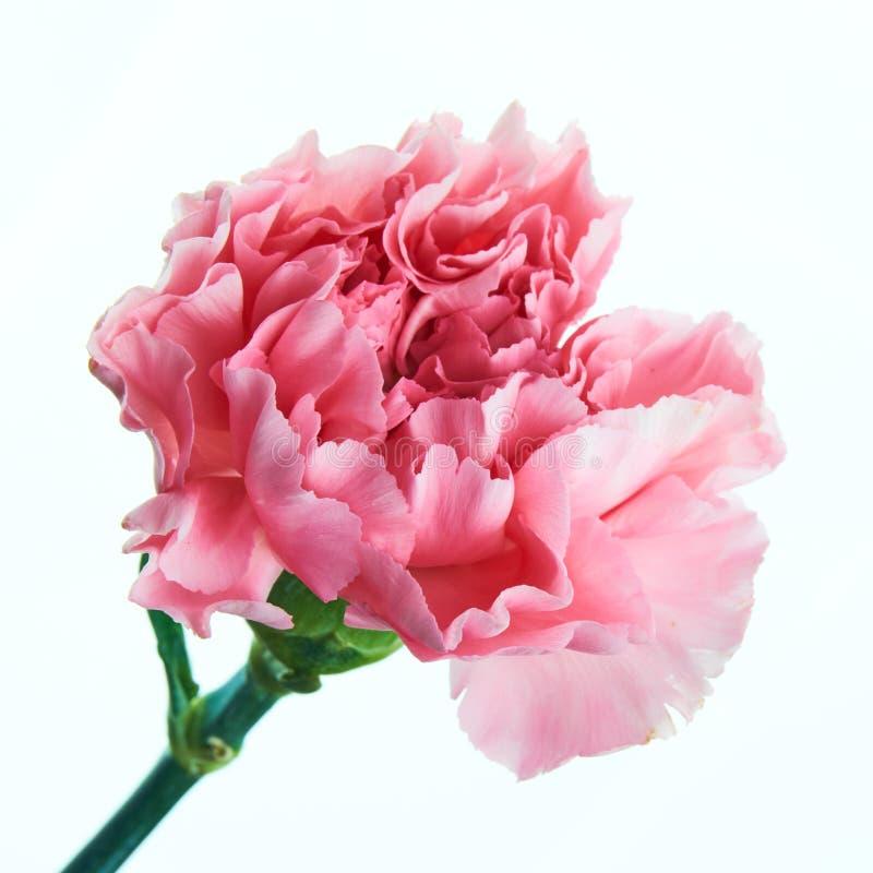 Flor cor-de-rosa bonita do cravo com haste imagens de stock royalty free