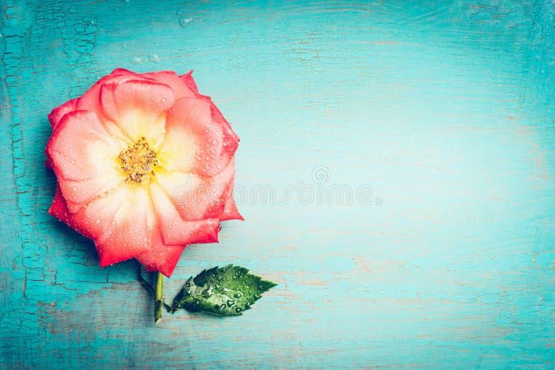 Flor cor-de-rosa bonita no fundo chique gasto de turquesa azul, vista superior, lugar para o texto Cartão festivo fotografia de stock royalty free
