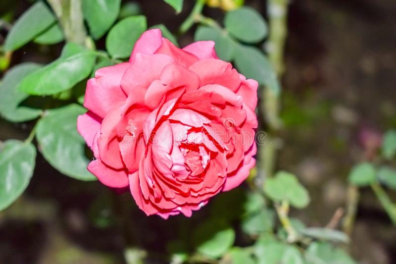Flor cor-de-rosa bonita no jardim Rosas no jardim tropical O vermelho levantou-se Fundo cor-de-rosa de Rosa Rosa bonita do rosa T fotografia de stock