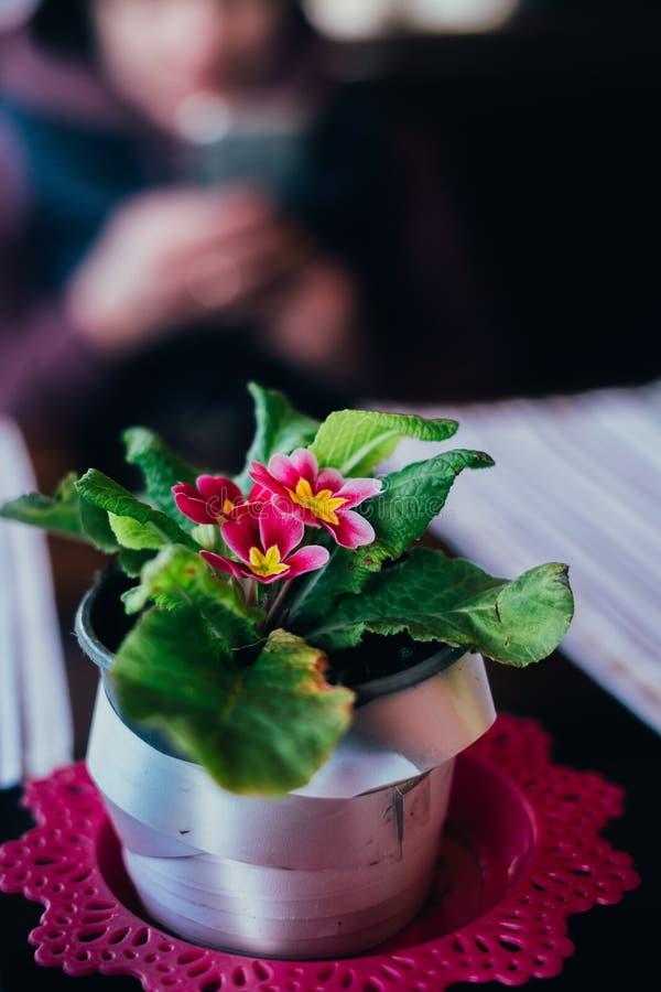 Flor cor-de-rosa bonita no potenciômetro imagens de stock royalty free