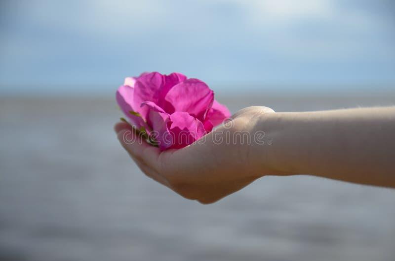 Flor cor-de-rosa bonita de um dogrose em um child& x27; mão de s foto de stock royalty free
