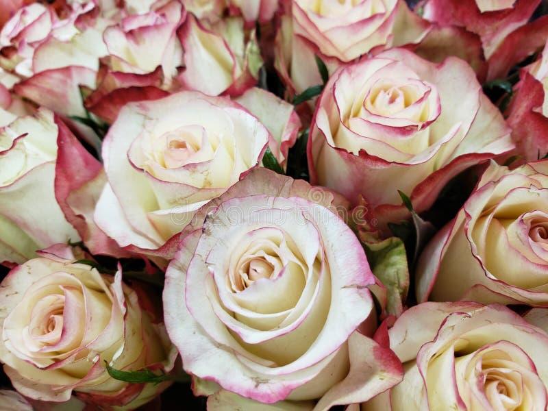 flor cor-de-rosa branca com borda vermelha em um ramalhete floral para o presente do amor, do fundo e da textura foto de stock royalty free