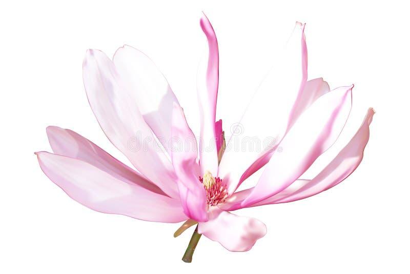 flor Cor-de-rosa-branca da magnólia ilustração royalty free