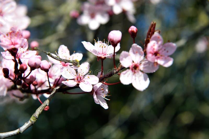 Flor cor-de-rosa branca de um Prunus contra um fundo escuro na primavera imagens de stock