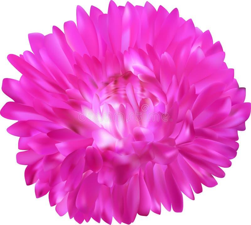 Flor cor-de-rosa brilhante do áster isolada no branco ilustração stock