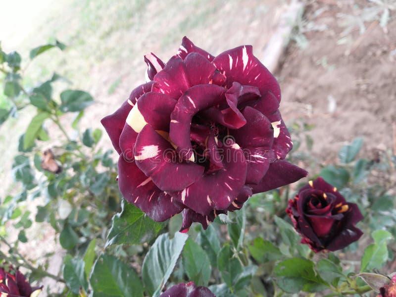 Flor cor-de-rosa colorido fotografia de stock royalty free