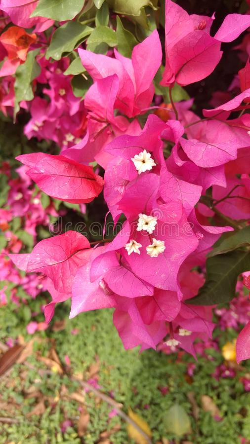 Flor cor-de-rosa com flor branca fotos de stock royalty free