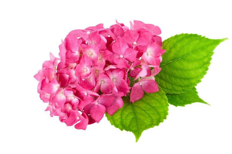Flor cor-de-rosa com a folha verde da planta da hortênsia fotografia de stock