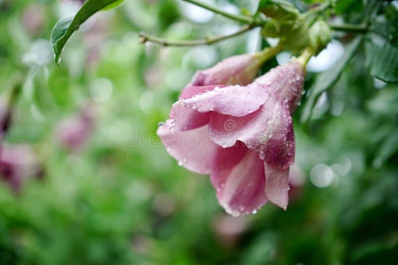 Flor cor-de-rosa com orvalho ou gotas da chuva e folha borrada verde do fundo das folhas fotos de stock royalty free