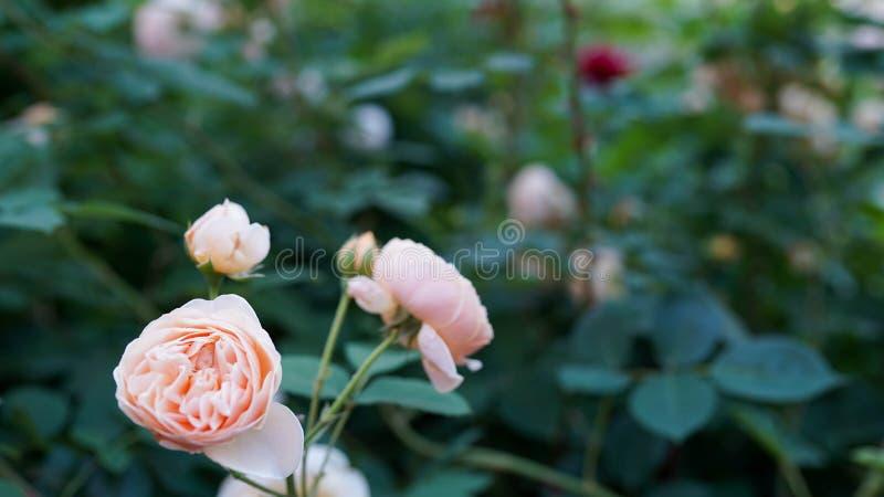 Flor cor-de-rosa coral no jardim de rosas Vista superior Foco macio fotos de stock