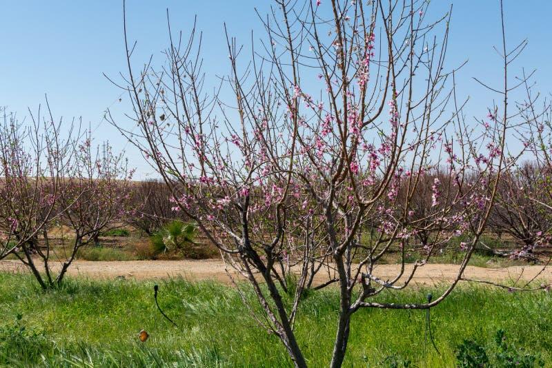 Flor cor-de-rosa da árvore de pêssego, primavera no pomar, backgroun da natureza imagens de stock royalty free