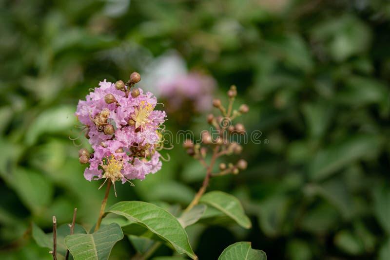 Flor cor-de-rosa da flor da flor da árvore fotos de stock royalty free