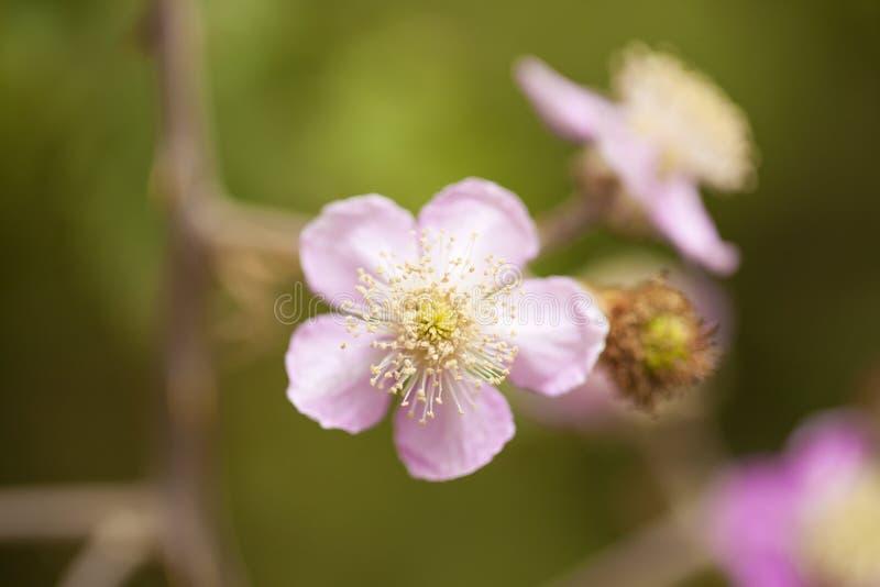 Flor cor-de-rosa da amora-preta fotos de stock