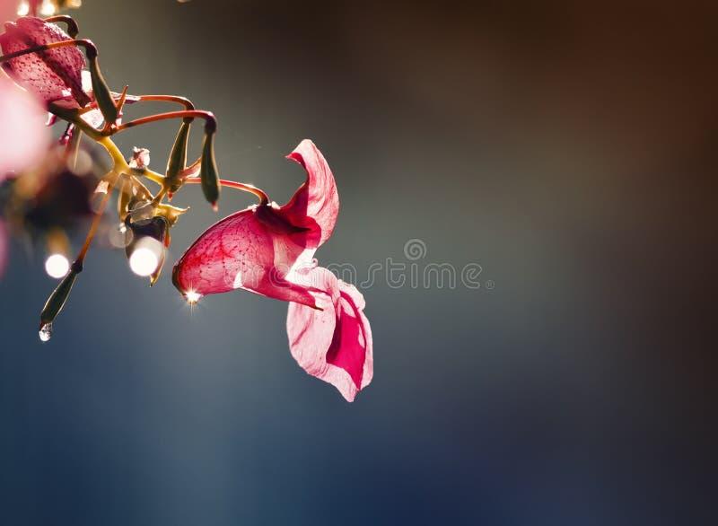 a flor cor-de-rosa da captação é coberta em gotas cintilando do orvalho fotografia de stock royalty free