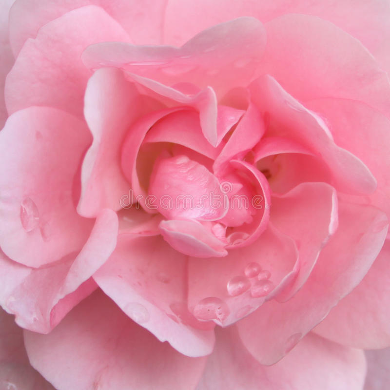 Flor cor-de-rosa da cor-de-rosa imagens de stock royalty free