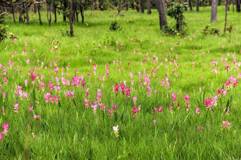 Flor cor-de-rosa da curcuma que floresce na floresta tropical em Tailândia fotografia de stock royalty free