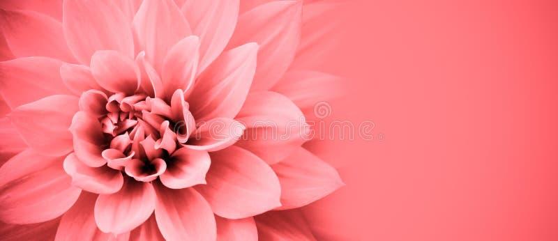 A flor cor-de-rosa da dália detalha o quadro macro da beira da foto com fundo largo da bandeira para a mensagem Fundo do casament fotografia de stock