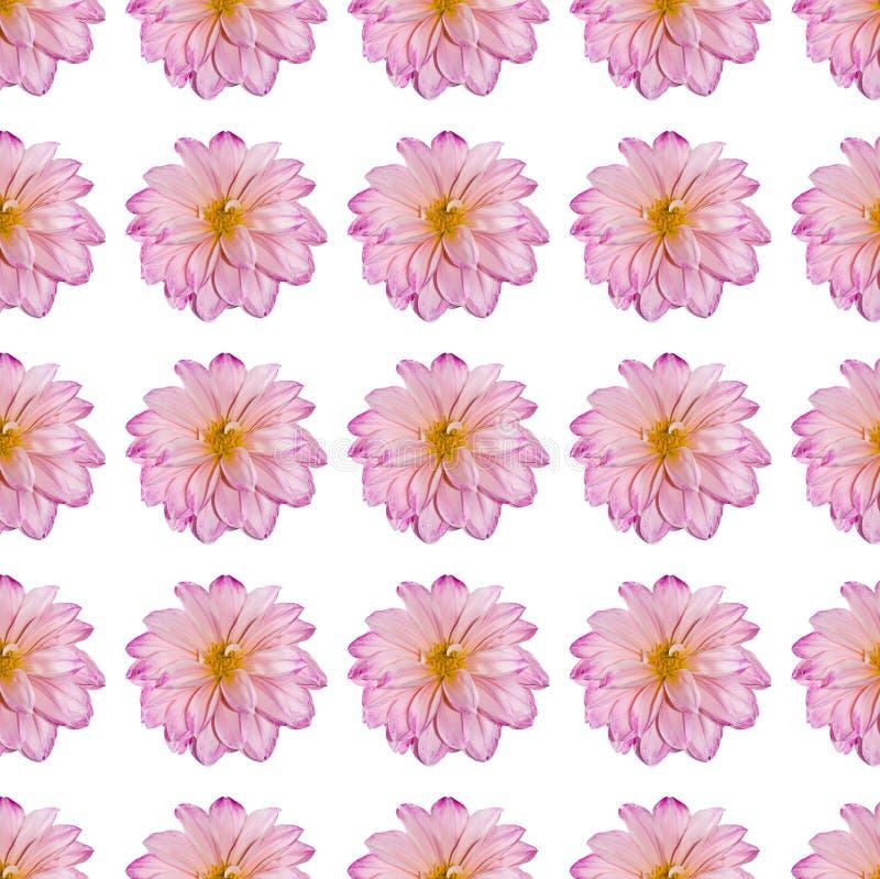 Flor cor-de-rosa da dália em um teste padrão repetido fotos de stock royalty free