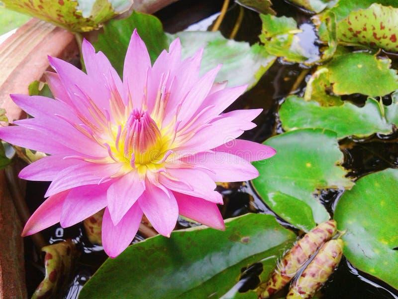Flor cor-de-rosa da flor de lótus tão brilhante e bonita fotografia de stock royalty free
