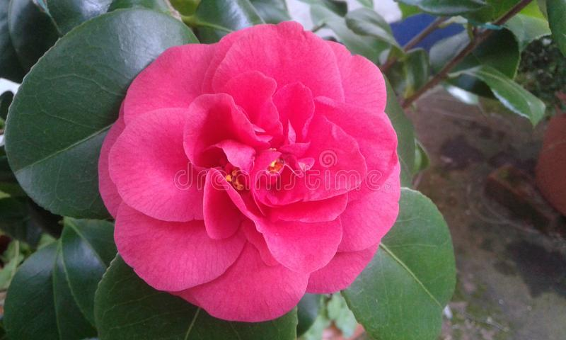 Flor cor-de-rosa da gardênia fotos de stock
