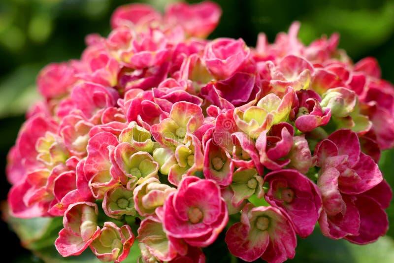 Flor cor-de-rosa da hortênsia na flor imagem de stock