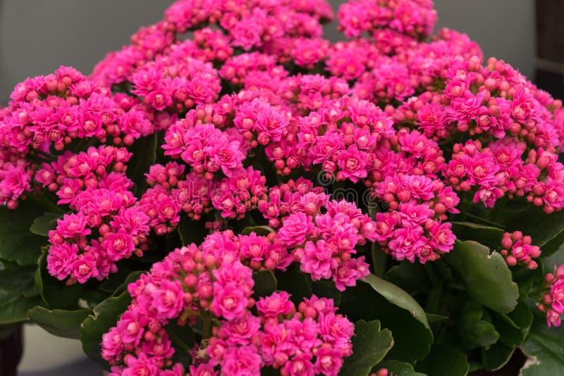 Flor cor-de-rosa da flor de Kalanchoe do Crassulaceae de Saxifragales do kalanchoe imagens de stock royalty free