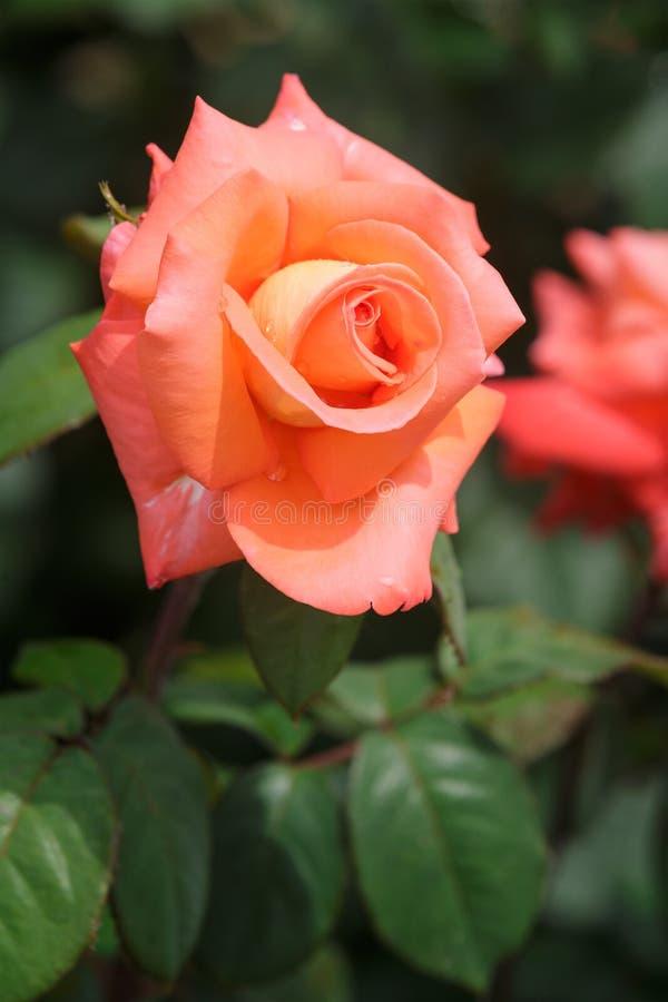 Flor cor-de-rosa da laranja adorável que floresce no jardim imagens de stock royalty free