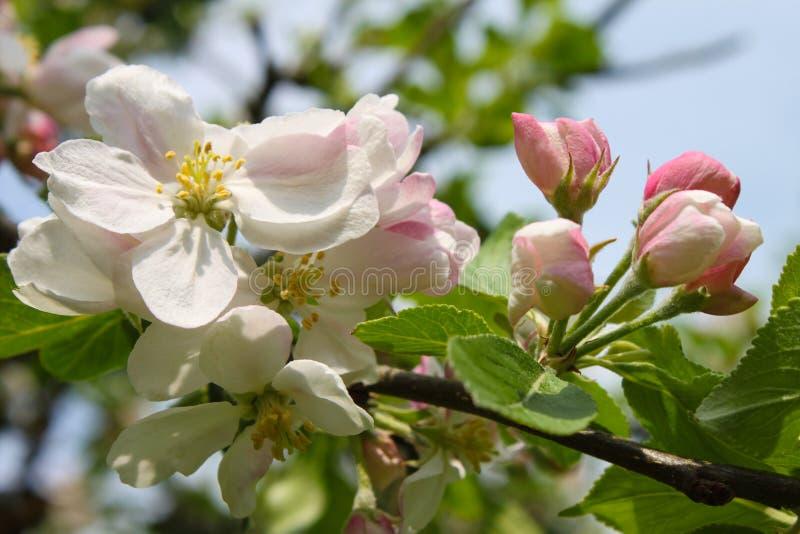 Flor cor-de-rosa da maçã imagem de stock royalty free