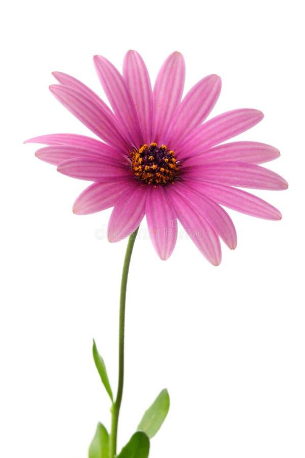 Flor cor-de-rosa da margarida fotografia de stock