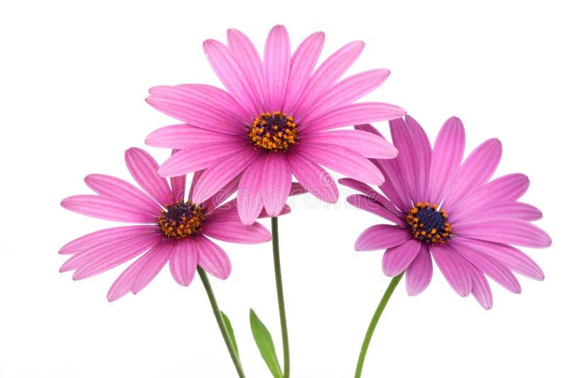 Flor cor-de-rosa da margarida fotos de stock royalty free