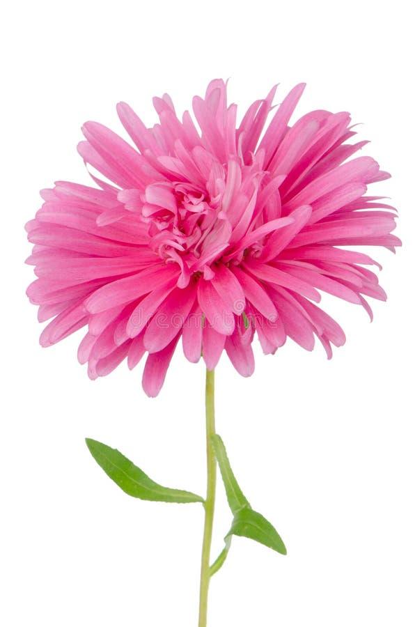 Download Flor Cor-de-rosa Da Margarida Foto de Stock - Imagem de abloom, frescor: 26517906