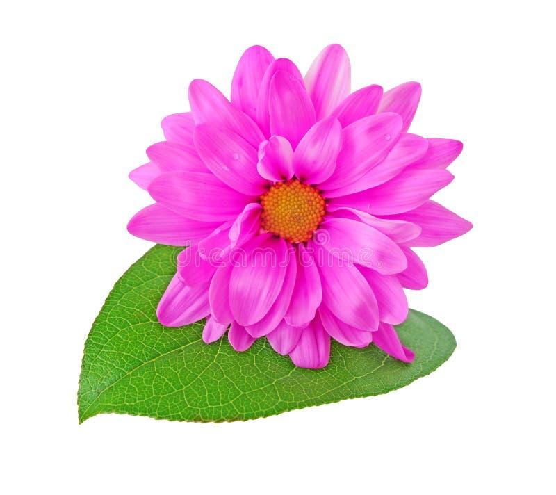 Flor cor-de-rosa da margarida fotos de stock