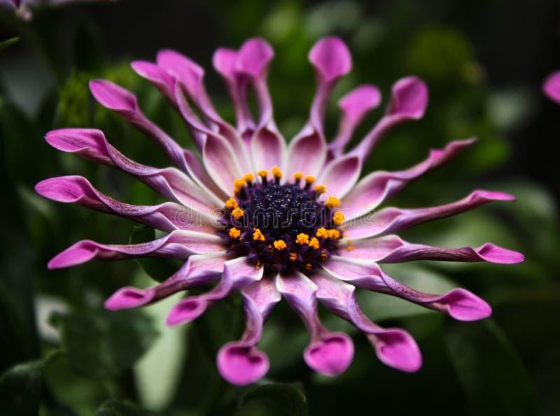 Flor cor-de-rosa da margarida africana foto de stock royalty free
