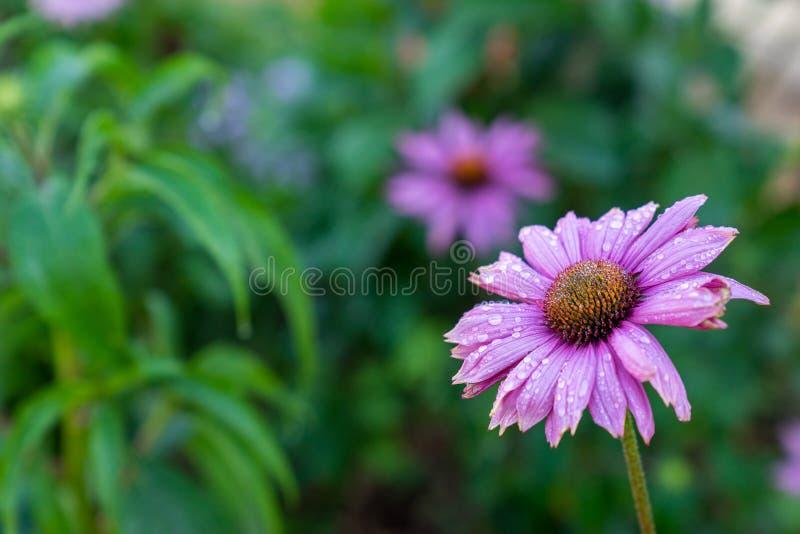 Flor cor-de-rosa da margarida no jardim imagens de stock