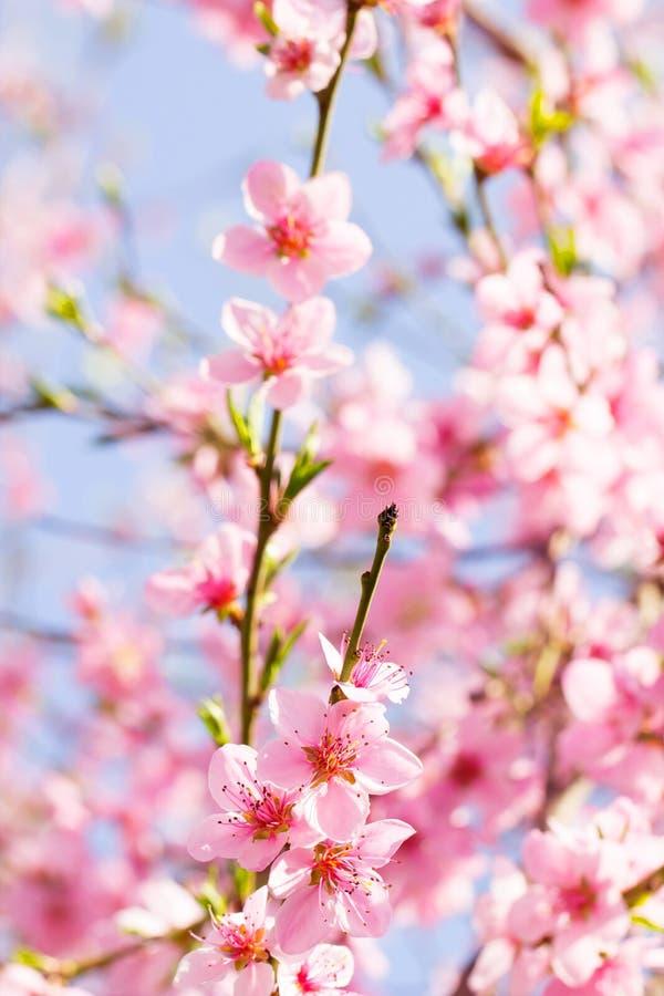 Flor cor-de-rosa da mola da flor em um ramo de árvore bonito da cereja sobre foto de stock royalty free