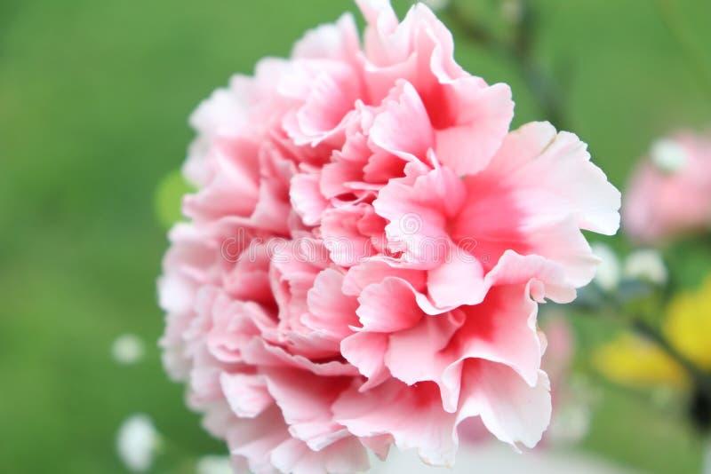 Flor cor-de-rosa da mola fotos de stock royalty free