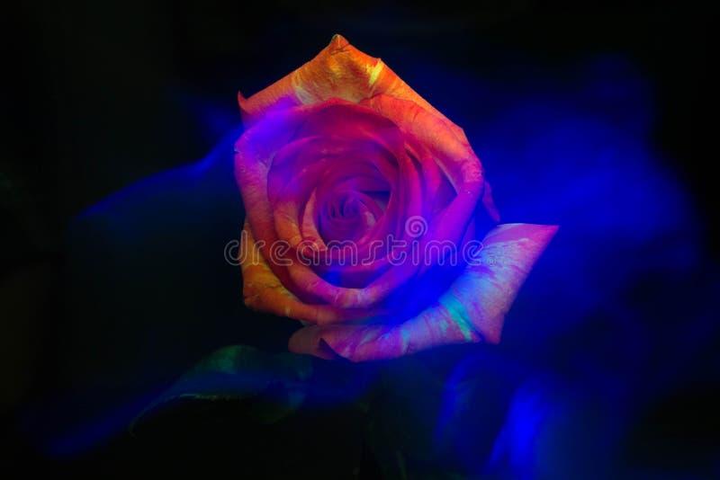 Flor cor-de-rosa da névoa do myst da obscuridade de Lightbrush foto de stock