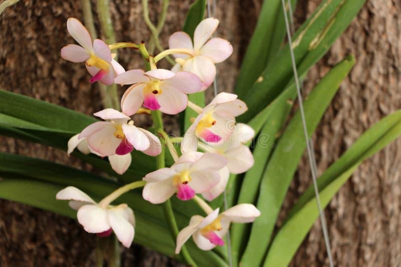 Flor cor-de-rosa da orquídea com ramo verde da árvore e textura marrom do fundo do tronco imagens de stock royalty free