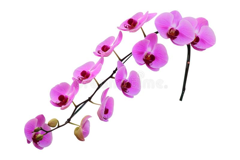 Flor cor-de-rosa da orquídea isolada no fundo branco fotografia de stock royalty free