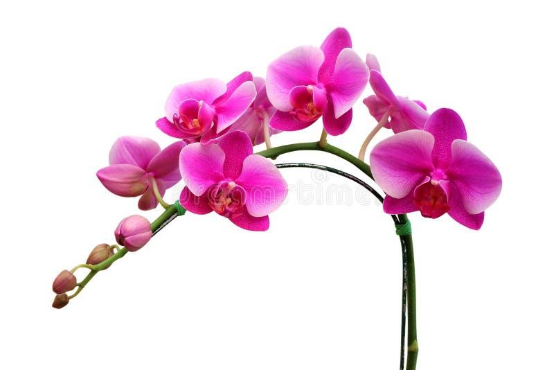 Flor cor-de-rosa da orquídea isolada no fundo branco fotografia de stock