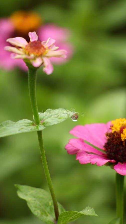Flor cor-de-rosa da pétala do sol com a folha do ona das gotas de água entre flores imagem de stock