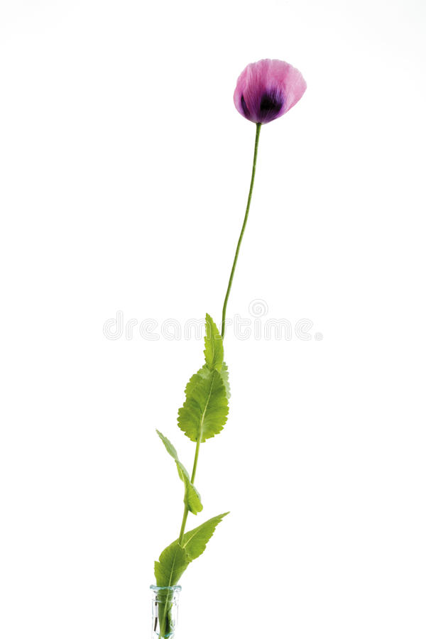 Flor cor-de-rosa da papoila de ópio imagens de stock