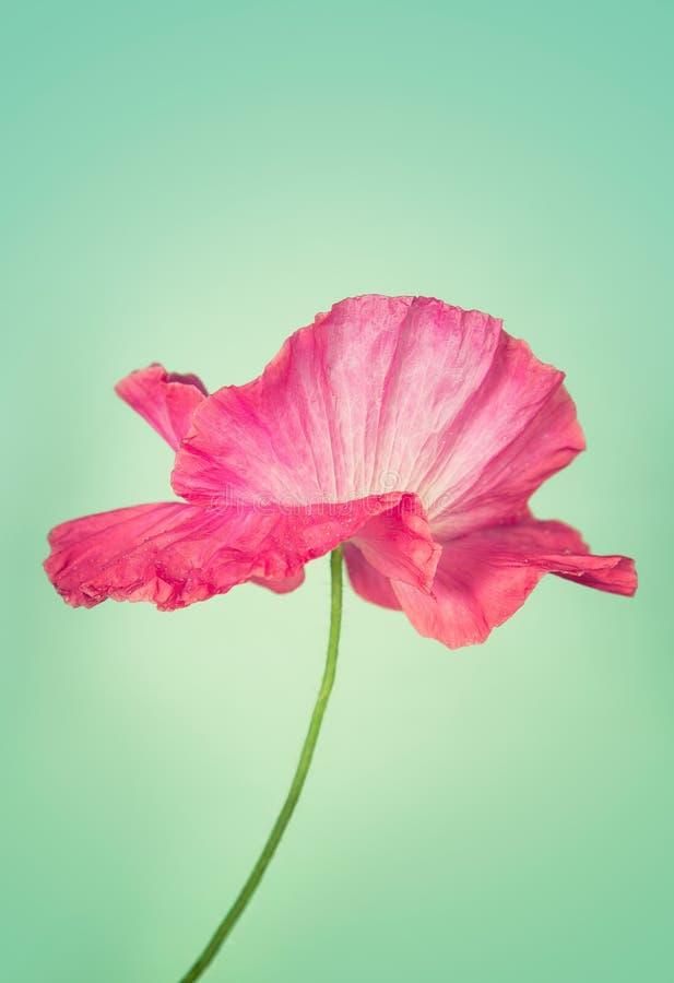 Flor cor-de-rosa da papoila no fundo do vintage imagem de stock royalty free