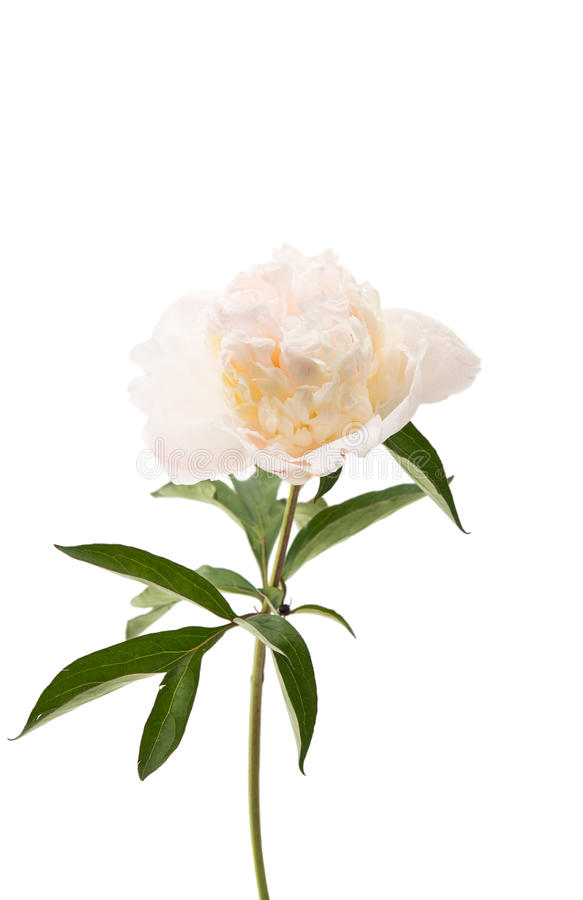 Download Flor Cor-de-rosa Da Peônia Isolada Foto de Stock - Imagem de pétala, jardim: 80102610