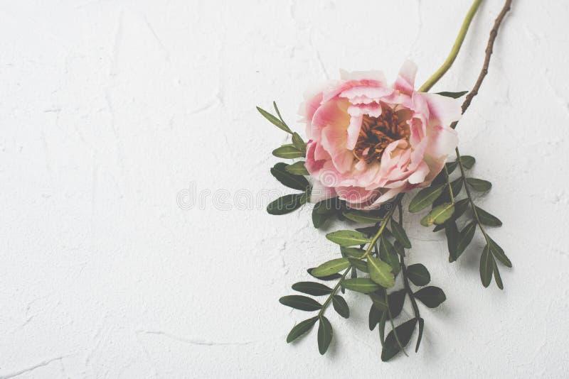Flor cor-de-rosa da peônia no fundo textured branco imagem de stock royalty free