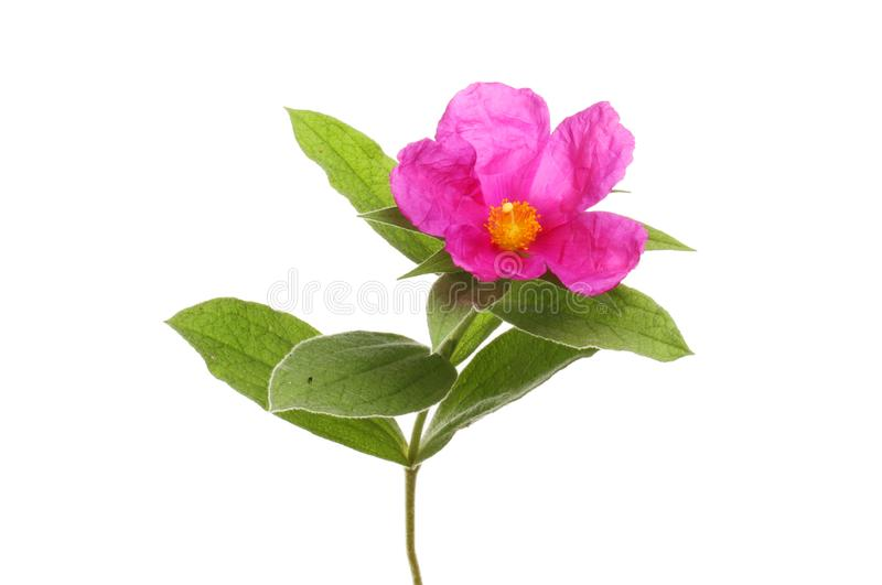 Flor cor-de-rosa da rocha imagens de stock royalty free